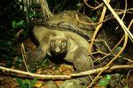 Seychellen-Riesenschildkröte wildlebend auf Frégate
