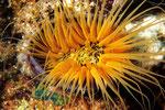 Zylinderrose Cerianthus sp. - Farbvariante.