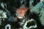 Igelfisch Cyclichthys orbicularis
