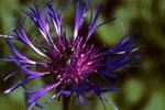 Berg-Flockenblume  Centaurea montana