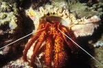 Einsiedlerkrebs Dardanus diogenes.