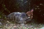 Seychellen-Riesenschildkröte wildlebend auf Frégate I