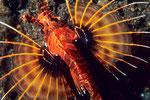 Pterois antennata  Flossen als Fächer