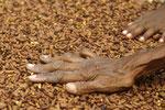 Gewürznelken - eine Kostbarkeit der Gewürzinseln.