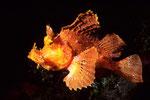 Rhinopias frondosa bei Nacht