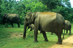 Wild - Elefanten im Yala Nationalpark