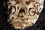 """Uranoscopus sulphureus   der """"Himmelsgucker"""""""