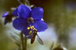 Blüten-Besuch auf Felsen-Ehrenpreis  Veronica fruticans