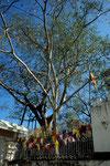Bodhi-Baum Ficus religiosa mit 2300 Jahren der älteste bekannte Baum der Erde