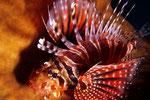 Dendrochirus zebra  Zwergfeuerfisch und seine Flossen mit Giftstacheln