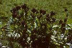 Purpurblütiger Enzian  Gentiana purpurea