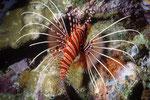 Rotfeuerfisch Pterois antennata.