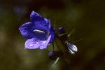 Zierliche Glockenblume  Campanula cochleariifolia