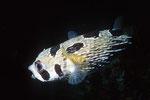 Igelfisch Diodon lituratus, flüchtend.
