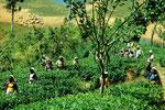 Tamilische Teepflückerinnen - Tee, das grüne Gold Sri Lankas