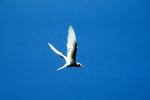 Feenseeschwalbe - Gygis alba -