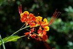Pfauenblume Caesalpinia pulcherrima L.