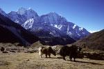 Yaks nahe Dingboche mit Kangtega 6779 m undThamserku 6608 m