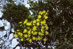 Erste Alpenblumen nach Fels und Eis;  Hauswurz - Sempervivum grandiflorum