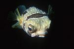 Igelfisch Diodon lituratus.