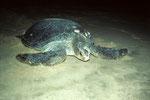 Schildkröte nach der Eiabalge am Palm Paradise Strand