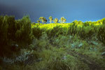 Erikabüsche auf dem Weg zu den Mandara Hütten