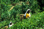 Tamilische Teepflückerinnen - Tee, das grüne Gold Sri Lankas I