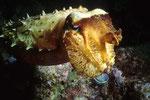 Sepia Sepia latimanus, Kopfansicht.