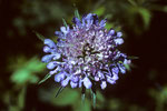blaue Bergblume