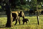 Wild - Elefanten mit  Nachwuchs im Yala Nationalpark