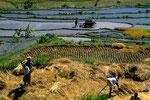Reisfelder von Tirta Gangga  - Säen und Ernten zu gleicher Zeit bei drei Ernten/Jahr