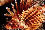 Dendrochirus brachypterus  Zwergfeuerfisch