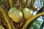 Trink-Kokosnüsse - das ablolut keimfreie Getränk in den Tropen.