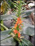 Longose à fleurs rouges-Hedychium coccineum-Cascade du Bras rouge-Cirque de Cilaos 3-11-05