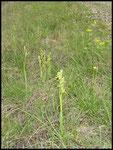 Ophrys litigiosa Mas de Londres (34) Le : 17-04-2004