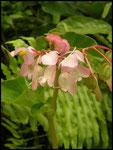 Begonia cucullata-Rivière Langevin-Sud Sauvage-6-11-05