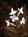 Orchidées,Cynorkis...Cascade maniquet-31-10-05