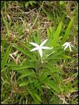 Hippobroma longiflora-Campanulaceae-Route des coulées-sud sauvage-6-11-05