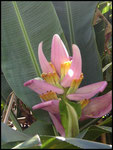 Baba figue, fleur de banane, Coopérative de la Vanille-Bras Panon-7-11-05