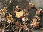 Sur le chemin, quelques rose de bois: Ipomea tuberosa