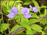 Otacanthus caeruleus-Route des coulées-sud sauvage-6-11-05