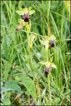 Ophrys sulcata Bugarach (11) Le : 19-05-2009