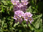 Herbe à papillons-Heliotropium indicum-Stella Matutina-St Leu-30-10-05