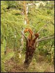 Fanfan, La fougère arborescente vers la Nouvelle-8-11-05