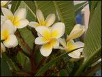 Fleur du Frangipanier