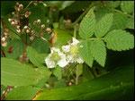 Duchesna indica : fraise d'eau-Cascade maniquet-31-10-05