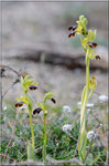 Ophrys forestieri Torreilles (66) Le 18 Mars 2017