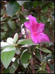 Rhododendron sp-Cascade maniquet-31-10-05
