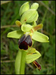 Ophrys sulcata Marne de Nogaret (34) Le : 16-05-2005