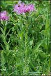 Centaurea scabiosa-Lac de Roselend-21-07-08